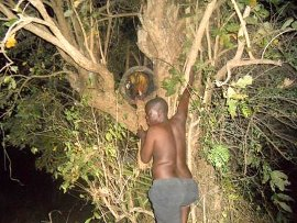 Isaac's uncle, Pastor Valentine up on a tree, harvesting honey